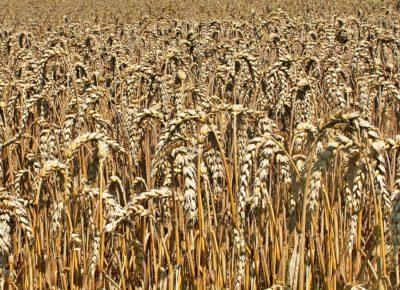 corn-1559413_1920